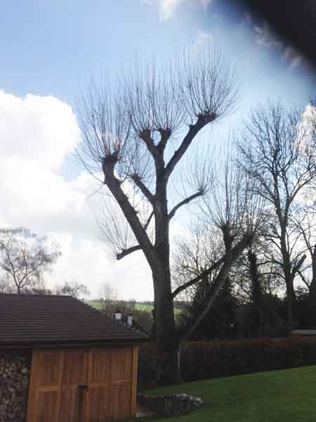 Tree Pollarding In Hertfordshire And North London
